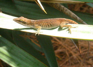 Green Anole (Anolis carolinensis)